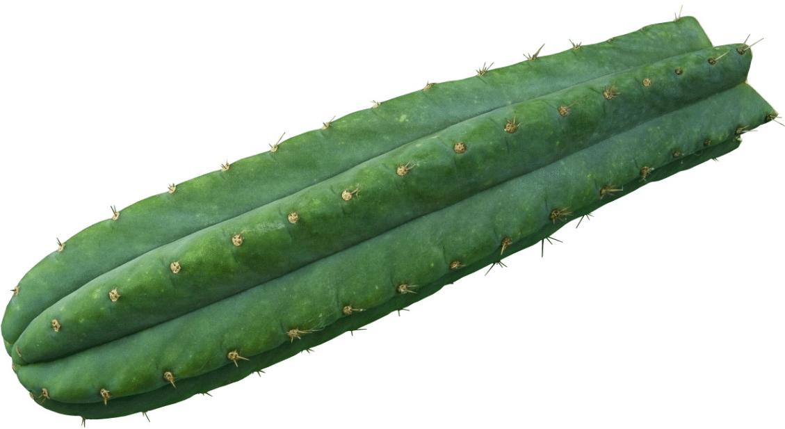 San Pedro Cactus Preparation